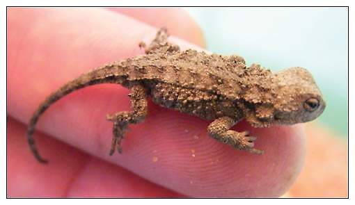 Baby Mountain Dragon just hatched by Thow's Photography