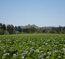 Irrigating Beans by Cherie Carlson