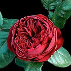 Red Rose by Steven  Agius