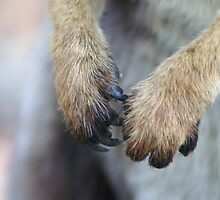 Black-footed Rock Wallaby paws by tarnyacox