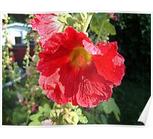red holly Poster