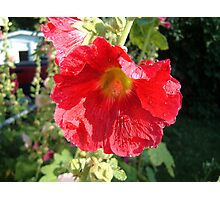 red holly Photographic Print