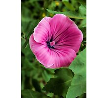 Early Summer Blooms Impressions – Bright Pink Malva Vertical Photographic Print