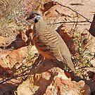 Spinifex Pigeon, Kings Canyon ,Northern Territory, Australia by Adrian Paul
