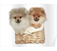 Puppies in a basket Poster