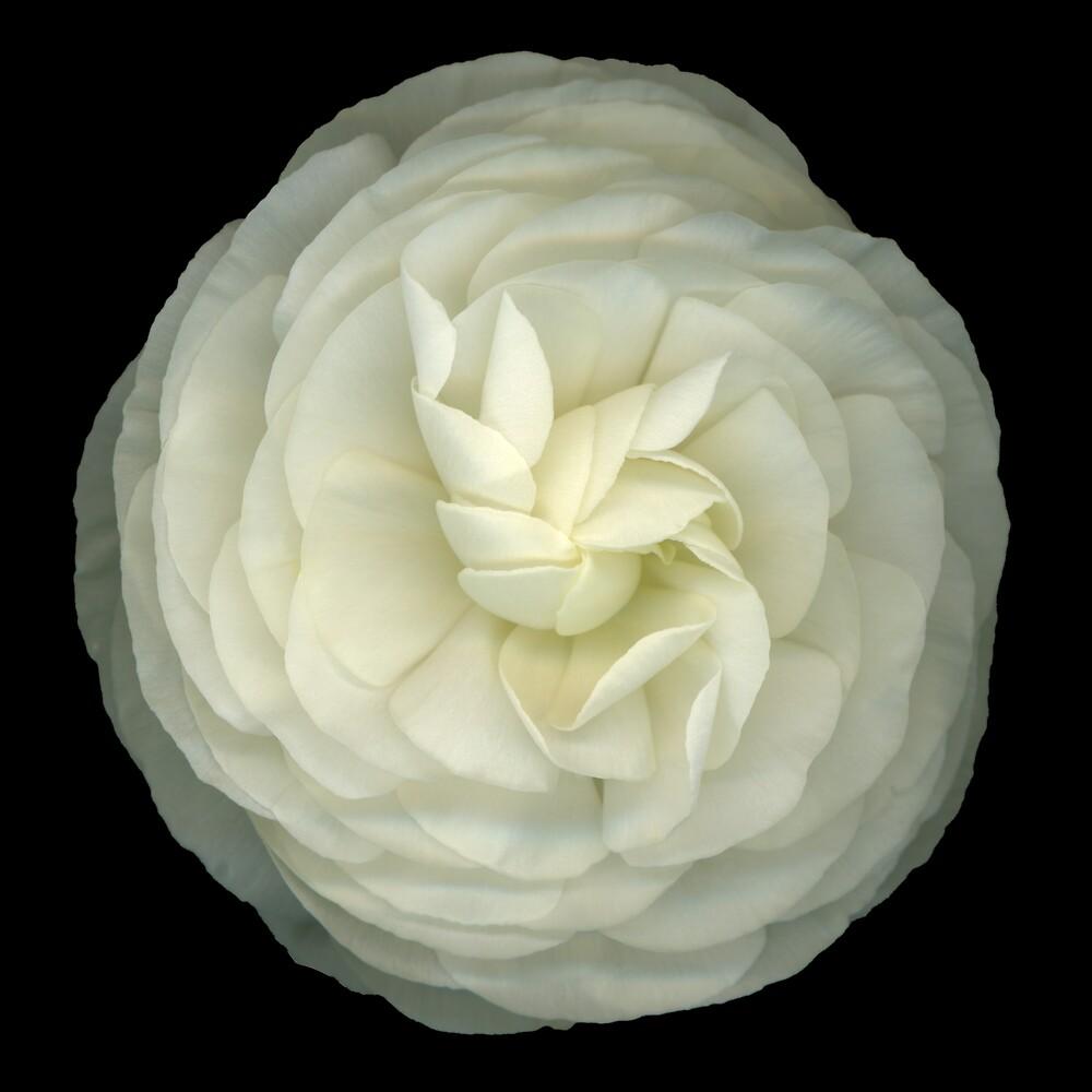 Ranunculus White by Marsha Tudor