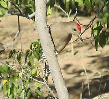 Gila Woodpecker by Ingasi