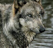 wolf portrait  by yair  leibovich