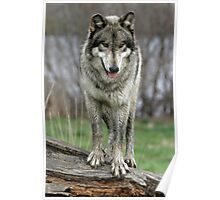 wolf standing on a log Poster