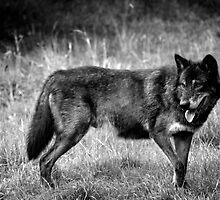 black wolf  by yair  leibovich