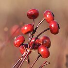 Winter Rosehips by Gerry Curry