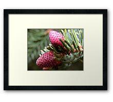 Spring Spruce Cones Framed Print