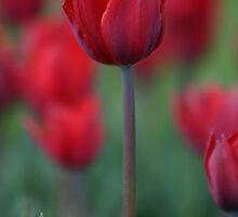 Red Tulip by Martina Fagan