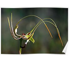 King Spider Orchid - Flip Top Lid Poster