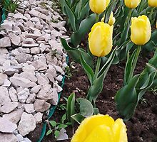 Yellow tulips 2 by AnnArtshock