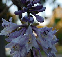 Blue Bells Flowering by Janet Ellen Lusk