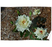 Two  White Roses Poster