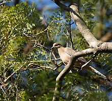 Mourning Dove by Jan  Wall