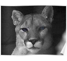 Cougar Blue Eyes Poster