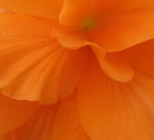 orange begonia by parhelion