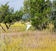 Snowy Egret Over Marsh by dbvirago