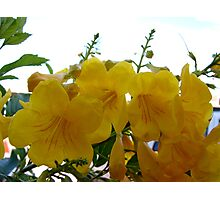Arizona Yellow Bells Photographic Print