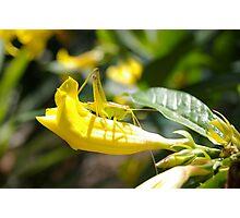 Grasshopper Hiding Photographic Print