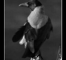 Lone Crow by EvCohen