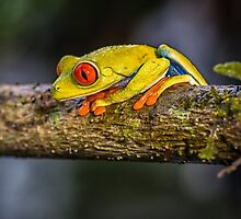 Red Eyed Frog by J. Day