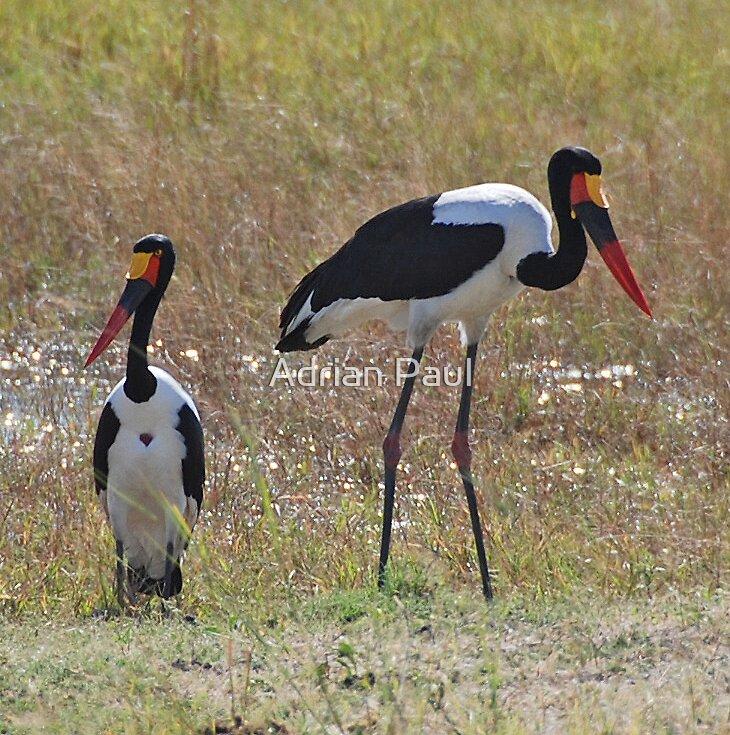 Saddle Billed Storks, Moremi Wildlife Reserve, Botswana, Africa by Adrian Paul