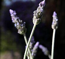 Lavender Blue by Jenni Tanner