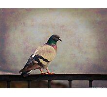 Il piccione Photographic Print