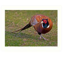 Cock Pheasant Art Print