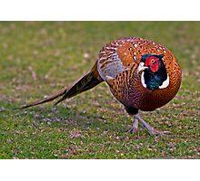 Cock Pheasant Photographic Print