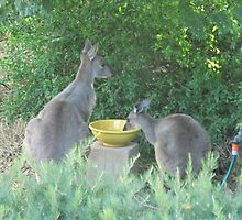 Wild Kangaroos Quench their thirst. 'Arilka', Mt. Pleasant. S.Aust. by Rita Blom