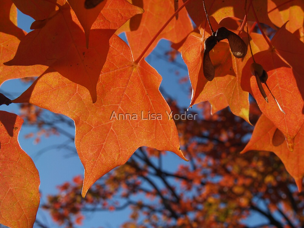 Sugar Maple Leaves with Azure by Anna Lisa Yoder