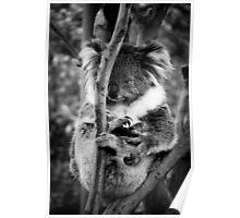 Koala at Healesville Sanctuary  Poster