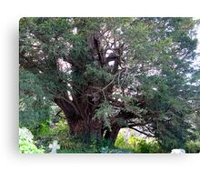 Ancient Yew Canvas Print