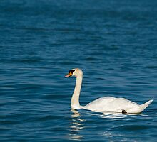 Mute Swan with Dark Blue Water by Inimma