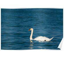 Mute Swan with Dark Blue Water Poster