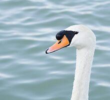 Mute Swan Head by Inimma