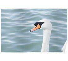 Mute Swan Head Poster