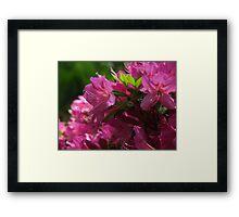 Fuchsia Azalea in Full Glory Framed Print