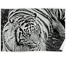 Captive Tiger Poster