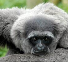 Pensive Primate by Ed Barnett