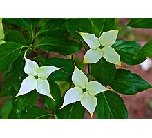 Kousa Dogwood Blossoms Photographic Print