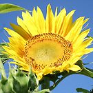 Sunflower, Bees and Blue Sky by IanB