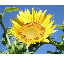 Sunflower, Bees and Blue Sky Photographic Print