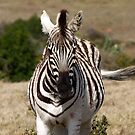 Burchells Zebra by Lisa Roberts