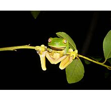 Red-Eyed Green Tree Frog, Litoria chloris Photographic Print
